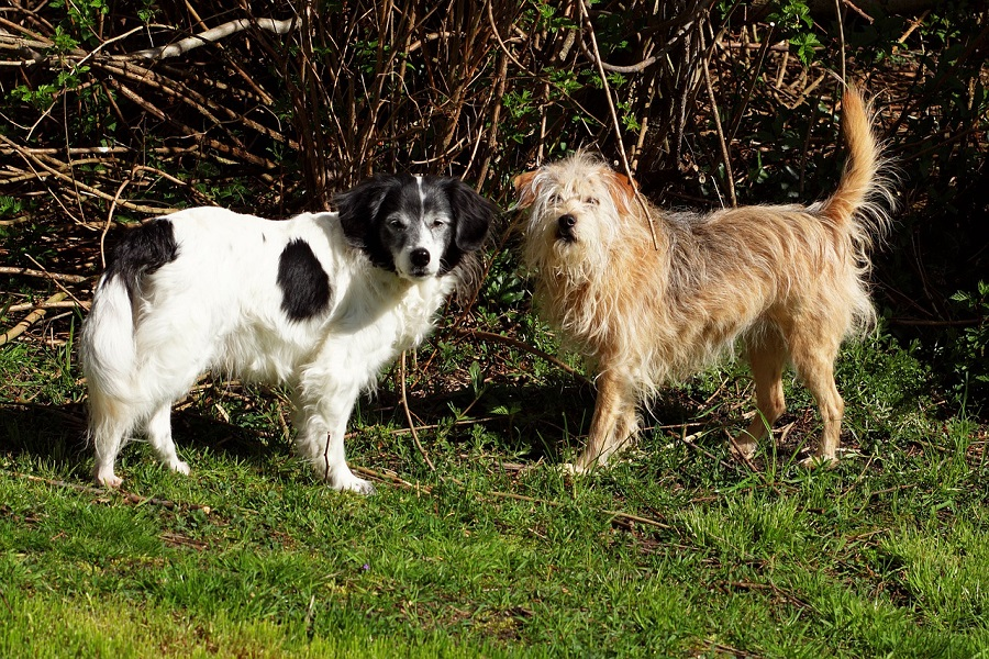Can You Breed Sibling Dogs 1