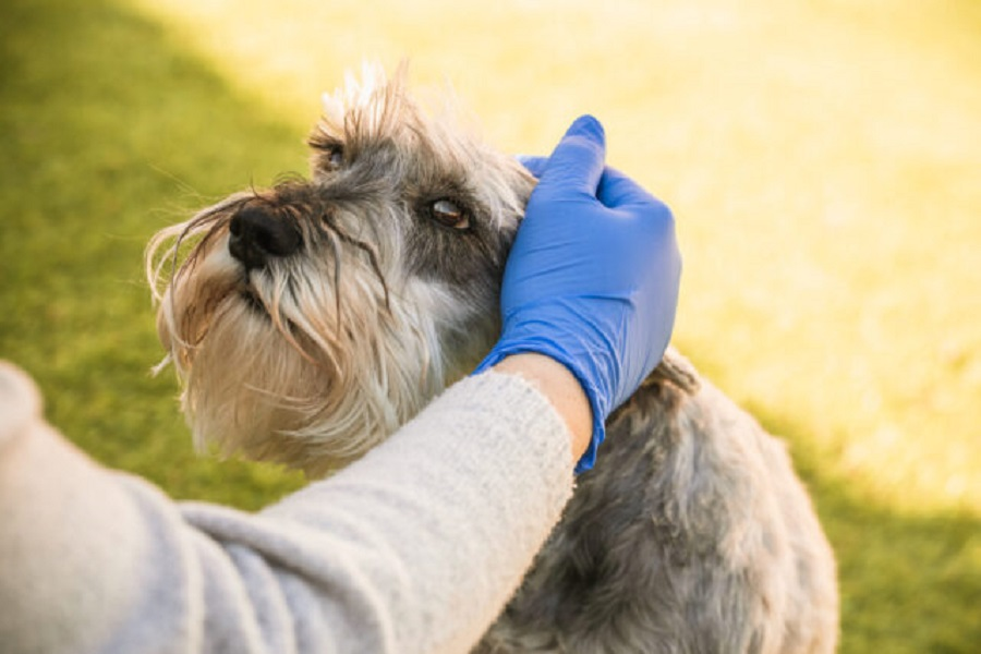 Woman with blue medical gloves caresses dog