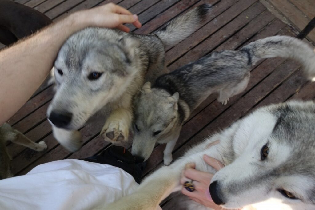 Do Huskies Have Wolf in Them