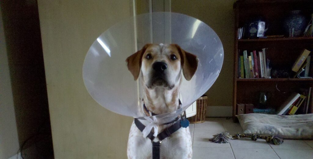 How Long Should A Dog Wear A Cone After Surgery