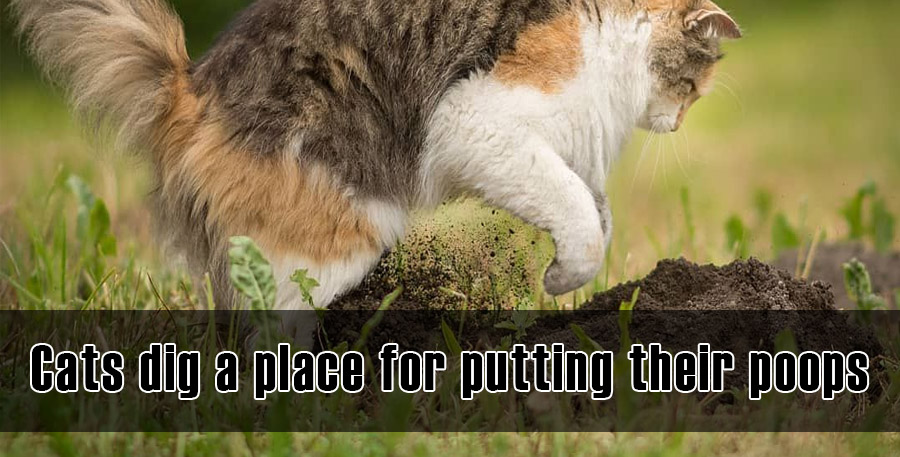 Cats dig a place for putting their poops
