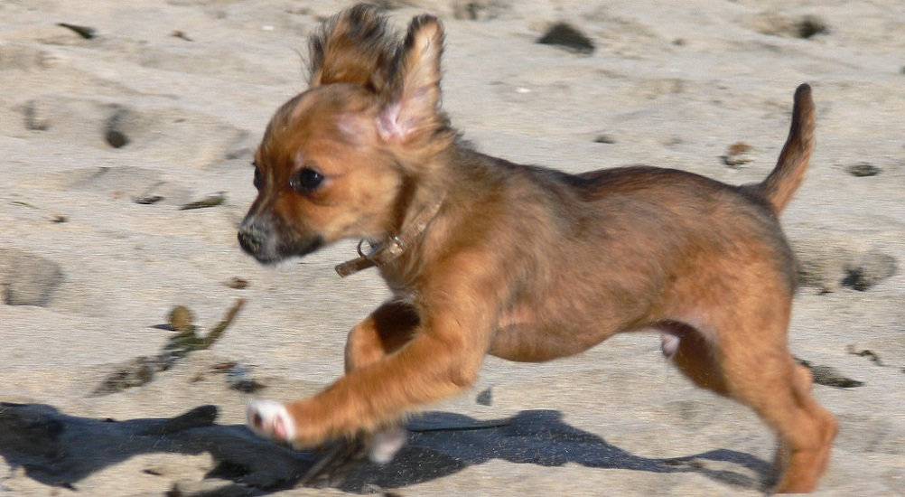 What Do Chihuahuas Like to Play With
