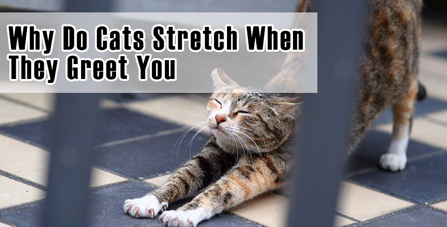 Why Do Cats Stretch When They Greet You
