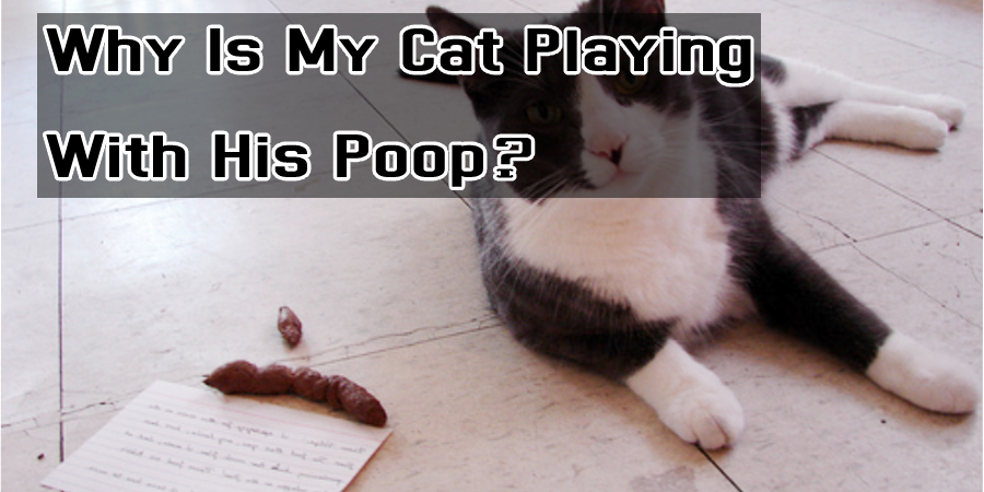Why Is My Cat Playing With His Poop