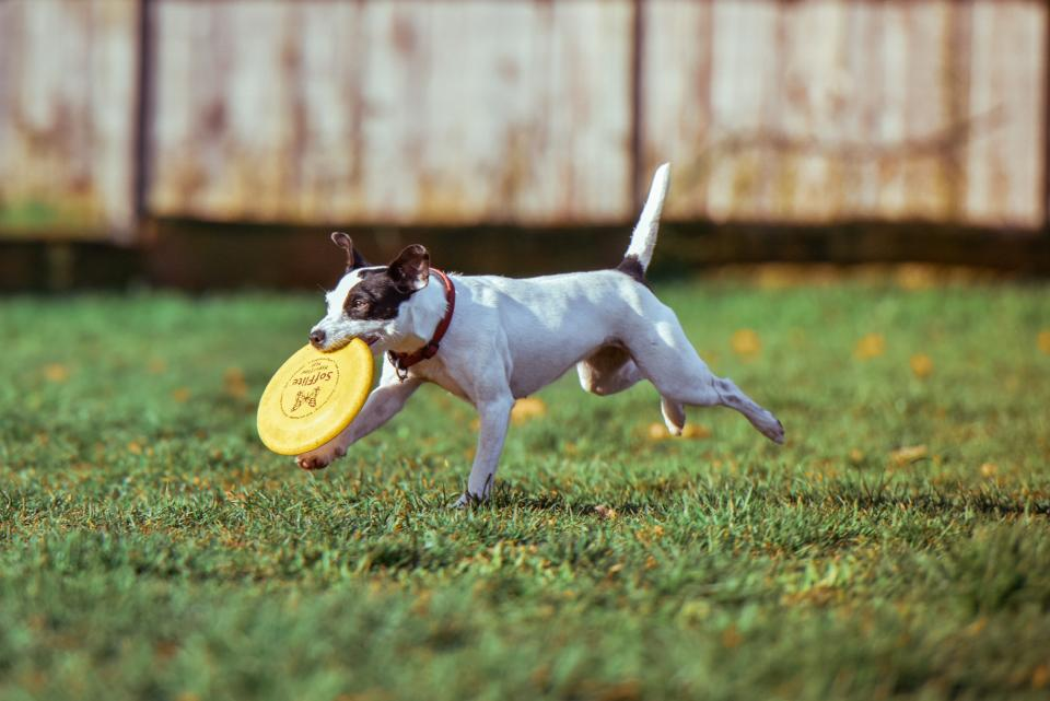 Dog play with Frisbee
