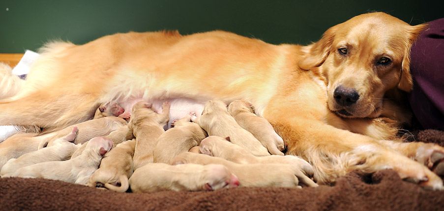 When-does-Labor-Occur-in-Dogs